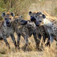 """""""Qui comando io"""": la leadership nel regno animale"""