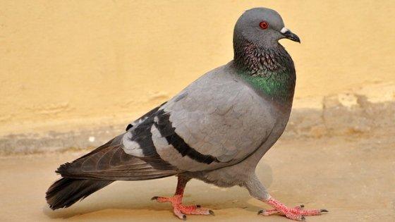 """I """"super poteri"""" del piccione: vista e memoria senza pari"""