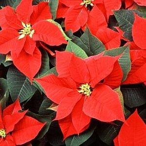 Stelle di Natale, meglio scegliere quelle Made in Italy
