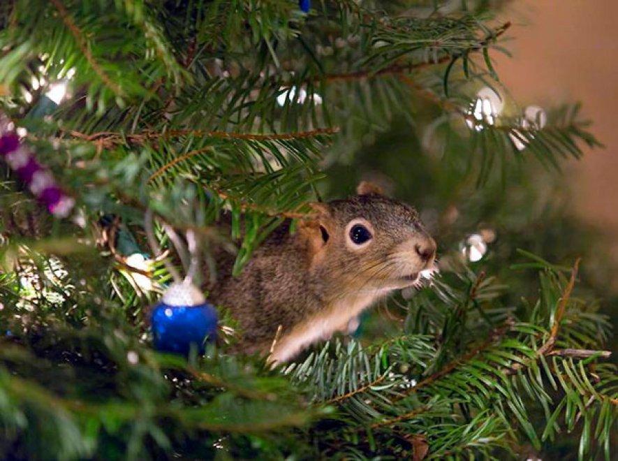 """Lo scoiattolo vive nell'albero di Natale: """"Stava morendo, l'abbiamo adottato"""""""