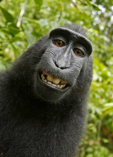 San Francisco, il macaco non ha diritto al copyright: Peta perde la causa