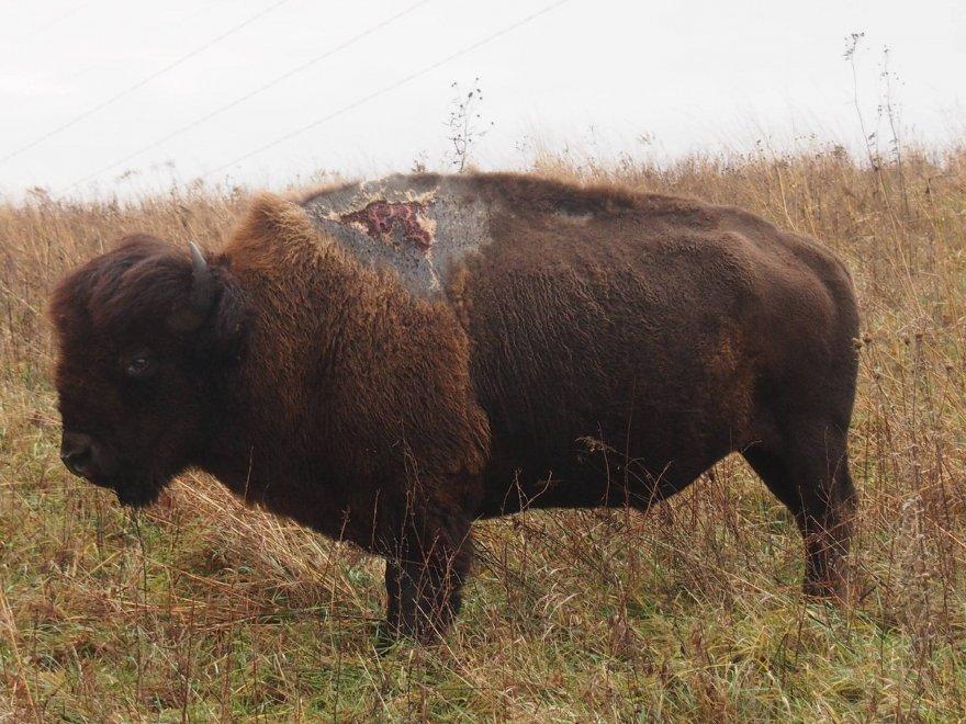 Sparky, il bisonte sopravvissuto al fulmine nel parco dell'Iowa
