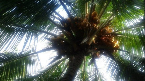"""India, palma da cocco non è più un """"albero"""" e non va tutelata"""