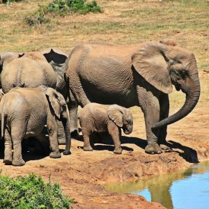 Bracconaggio inarrestabile, uccisi 30mila elefanti l'anno