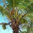 """India, palma da cocco non è un """"albero"""" e non va tutelata"""