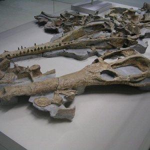 È il Machimosaurus Rex il più grande coccodrillo marino