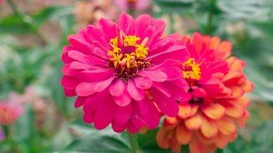 Iss, stanno per sbocciare i primi fiori In ambiente di microgravità