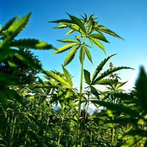 Depenalizzazione cannabis ma solo per uso terapeutico. Domani la riforma in cdm