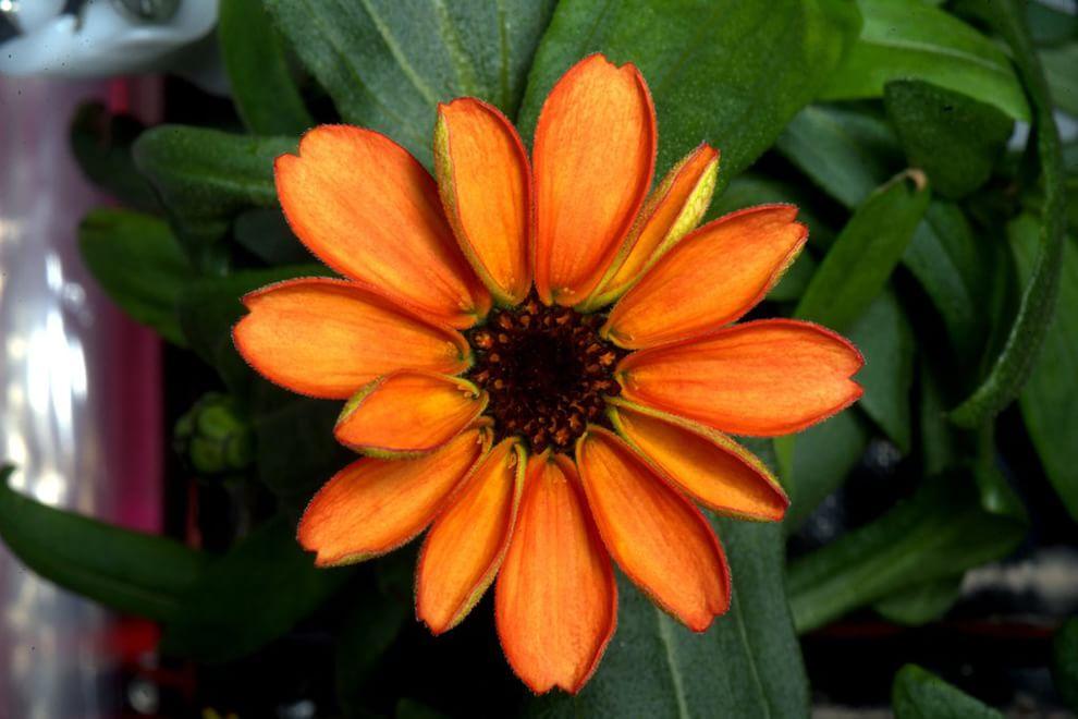 È sbocciato il primo fiore coltivato nello spazio