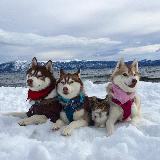 Rosie e gli husky: storia di un'amicizia tra cani e gatti