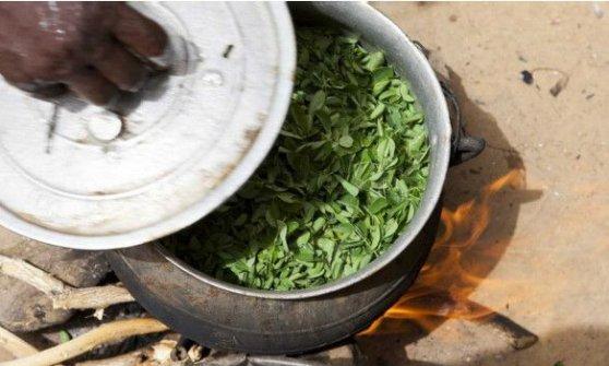 "Moringa, la pianta ""magica"" promossa dalla Fao"