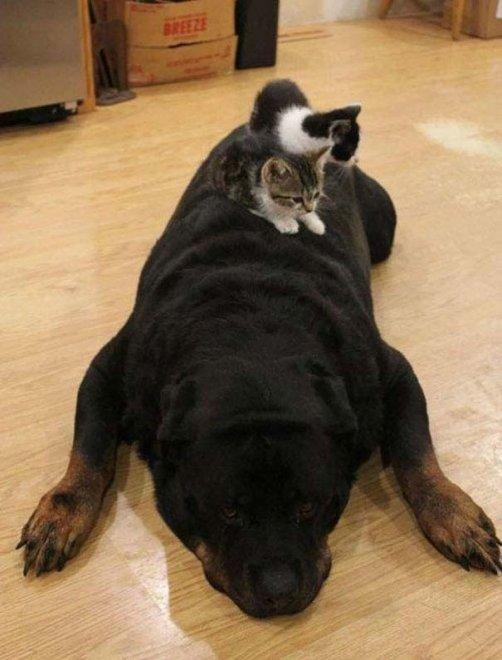 Mi pare di aver visto un cuscino. Oops, è un rottweiler: i pisolini dei gatti
