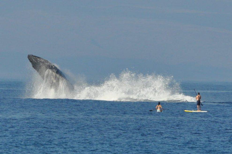 Hawaii, sfiorati sulla tavola: l'inatteso salto della megattera