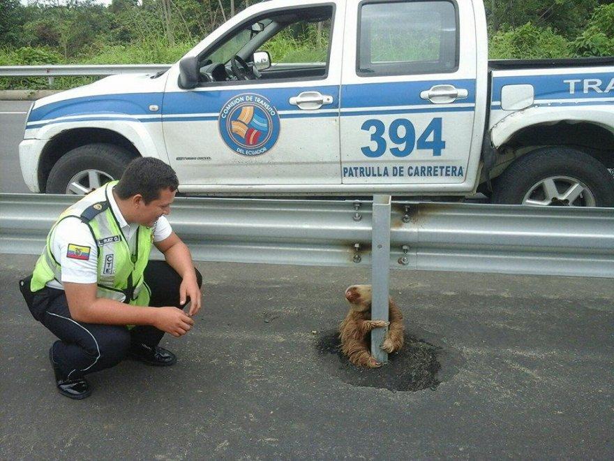 Il bradipo abbraccia il guardrail: attraversare è troppo difficile