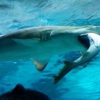 Seul, squalo mangia squalo: l'attacco in un acquario
