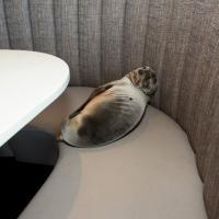 Usa, il leone marino è affamato: passa la notte sul divano del ristorante