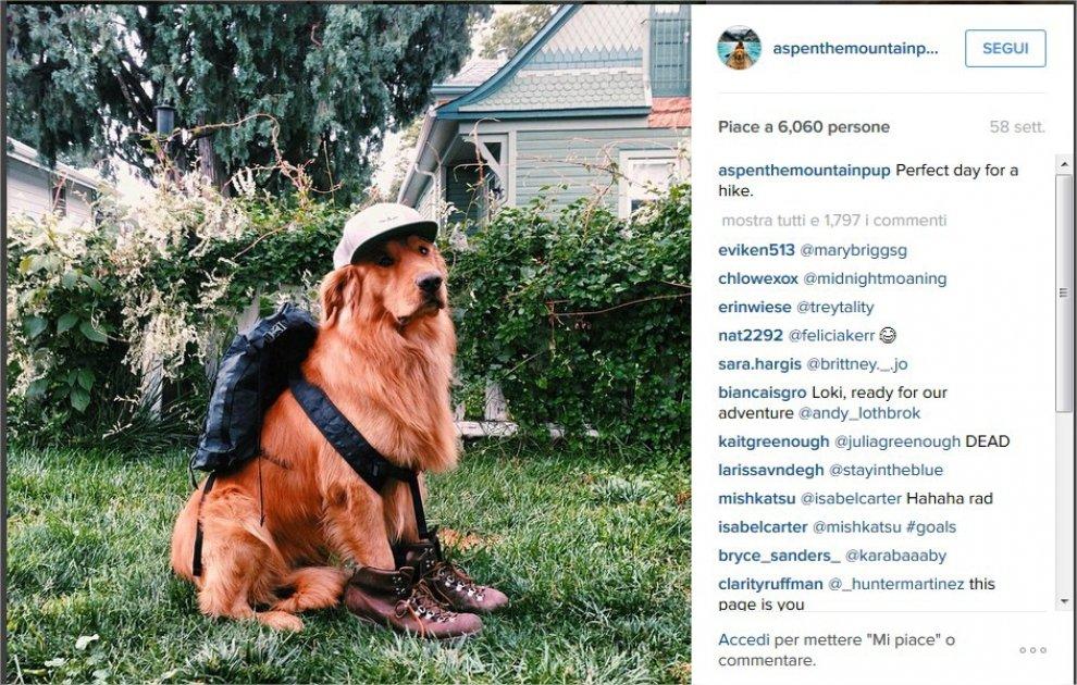 Dopo Grumpy e Maru, ecco Aspen: il golden retriever è la nuova star di Instagram