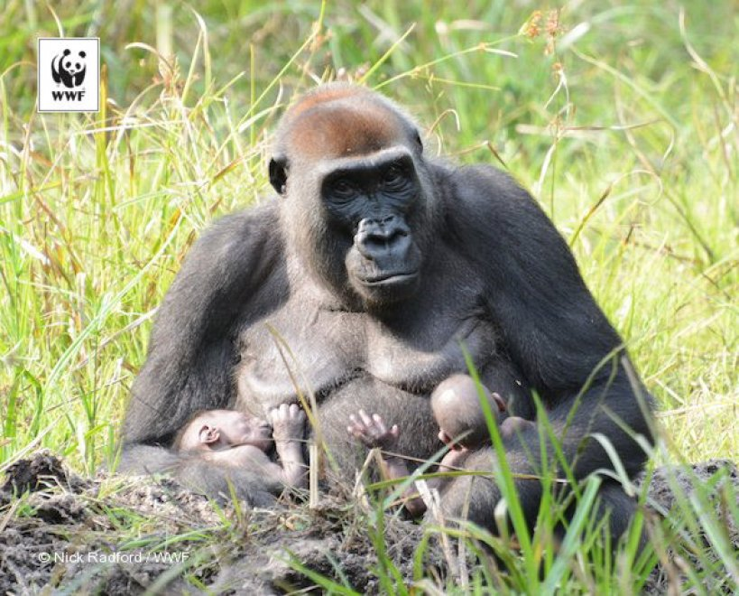 Africa, quando la natura sorprende: nati due rarissimi gemelli di gorilla