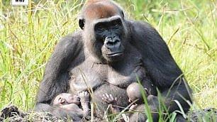 Quando la natura sorprende nati rarissimi gemelli di gorilla