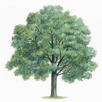 Querce e betulle: ecco gli alberi che abbatteranno l'effetto serra