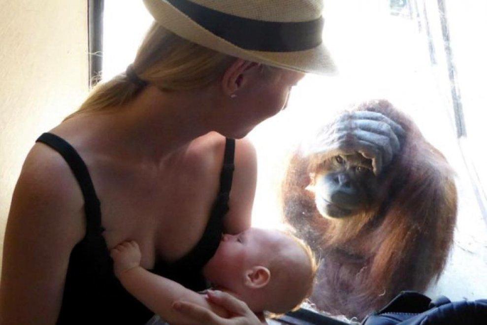 Australia, la bellezza dell'allattamento al seno incanta anche l'orango
