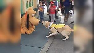 Il labrador fa amicizia con Pluto tenero incontro a Disneyland