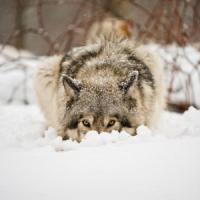 Il ritorno dei lupi fa paura ai pastori.