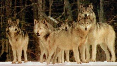 """Il ritorno dei lupi fa paura ai pastori """"Pronto un piano per abbatterli"""""""