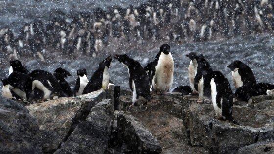 """""""Fermate l'iceberg"""": la corsa per salvare il pinguino Ryan"""