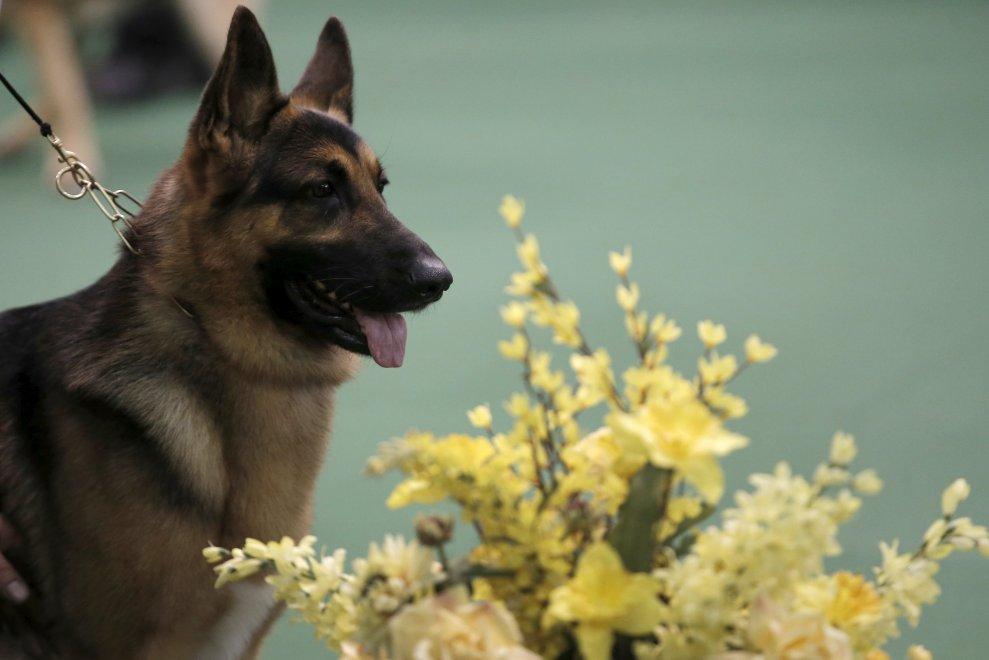 New York, Kennel Show 2016: iniziata la più grande competizione di cani al mondo