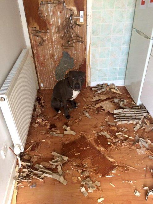 Hugo il distruttore, mai lasciare il bulldog in casa da solo