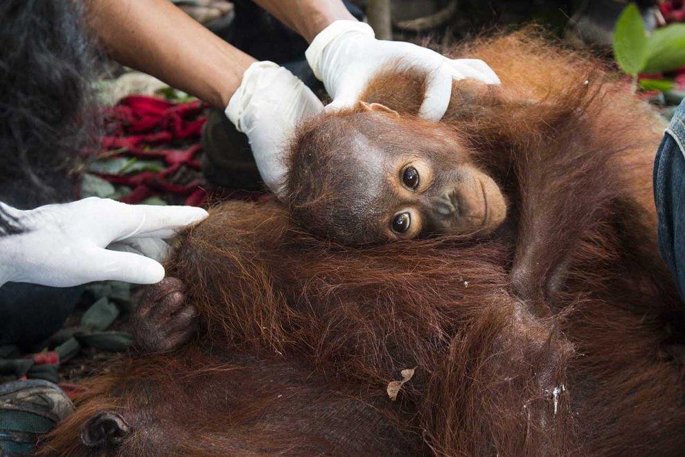 Borneo, aggrappato alla vita: il cucciolo di orango e la mamma salvati