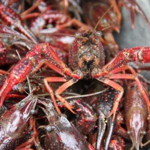 Specie invasive, in Italia sono oltre 3.000