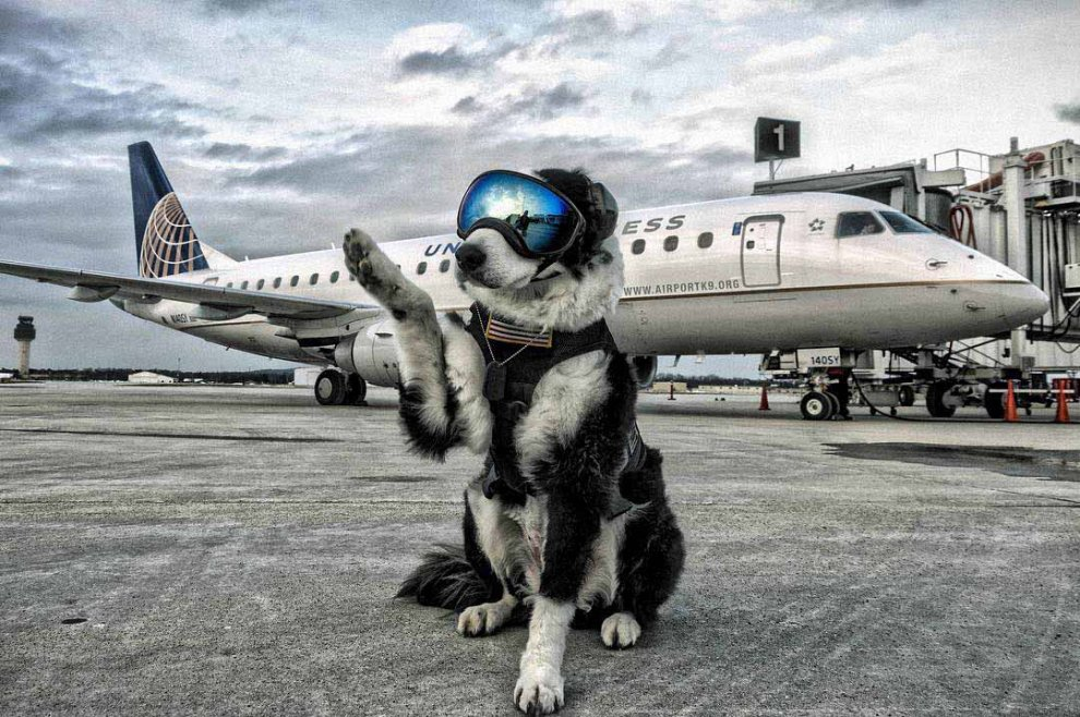 Fidatevi di Piper: un border collie per la sicurezza in aeroporto