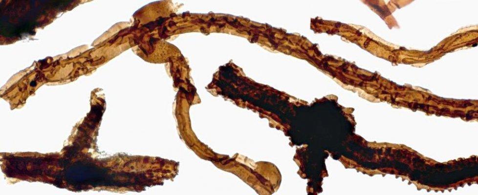 Scoperto fossile di fungo vissuto 440 milioni di anni fa, colonizzò le terre emerse