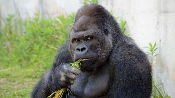 Il gorilla e l'uomo sono più simili del previsto, lo dice cromosoma Y