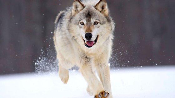 Lupi in pericolo: il Wwf dedica a loro la Giornata mondiale della fauna selvatica