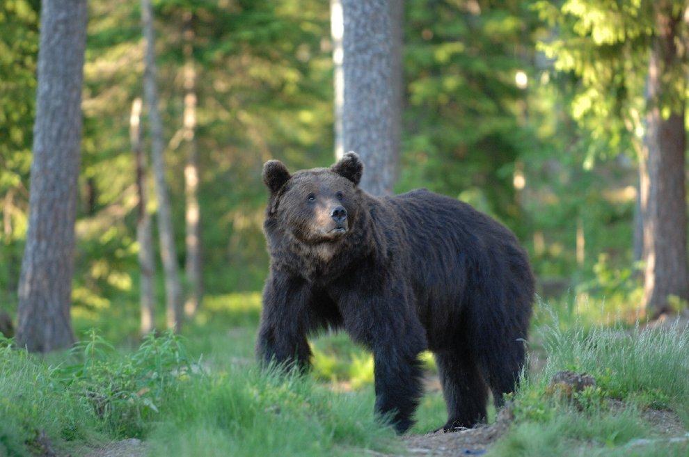 Vita da orso sulle montagne del trentino - Immagini di orsi da colorare in ...
