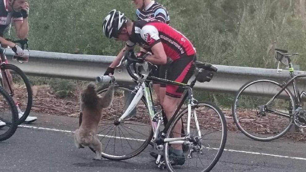 Australia, il koala è assetato: il ciclista gli offre da bere