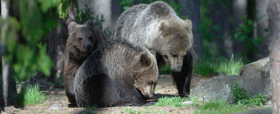 L'orso bruno sulle Alpi del Trentino: per sopravvivere occorre migrare