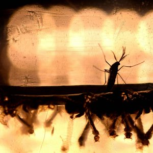 Zika, prima prova sul legame con le malformazioni del feto