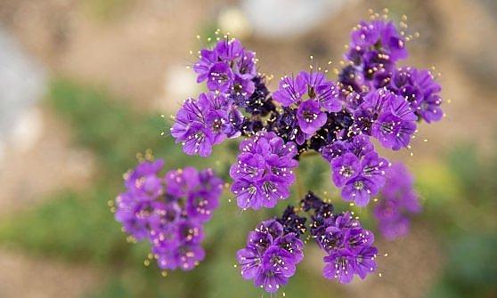 Colpa del Niño, la Death Valley diventa un parco fiorito