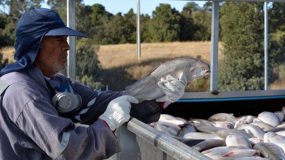 Moria di salmoni in Cile per le alghe velenose, rischi di forte aumento dei prezzi
