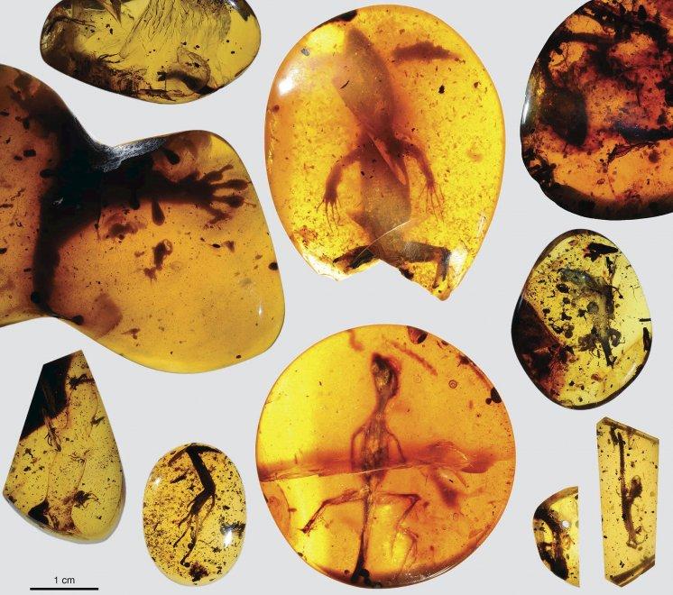 Myanmar, la lucertola nell'ambra ha 99 milioni di anni