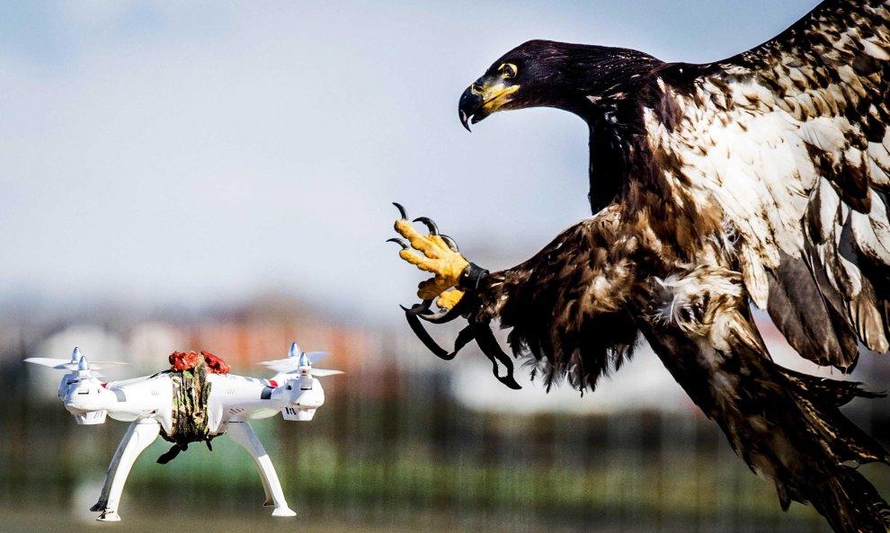 Olanda, droni dei terroristi come prede: li catturano le aquile