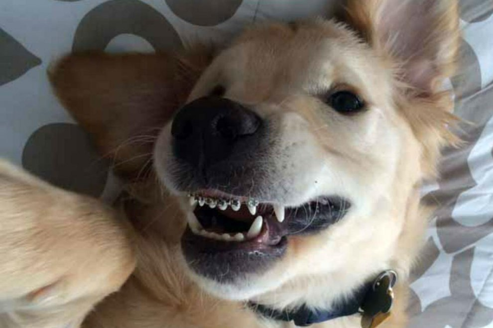 Wesley, il cane con l'apparecchio ai denti