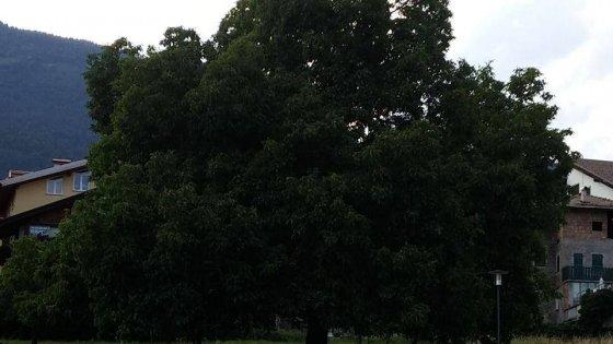 L'albero più bello d'Italia? Su Facebook hanno scelto, è un noce del Trentino