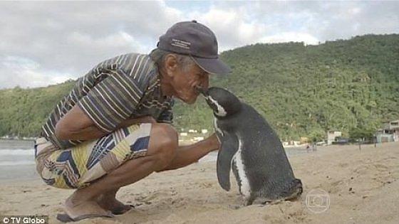 Dindim, il pinguino che ogni anno torna a trovare l'uomo che lo ha salvato