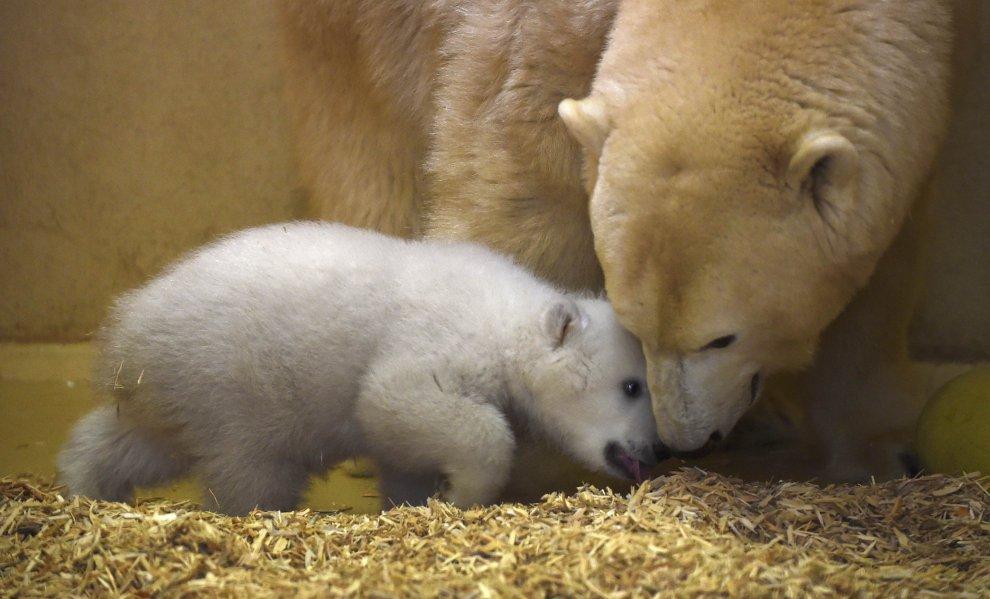 Germania, i primi passi della cucciola insieme a mamma orsa polare