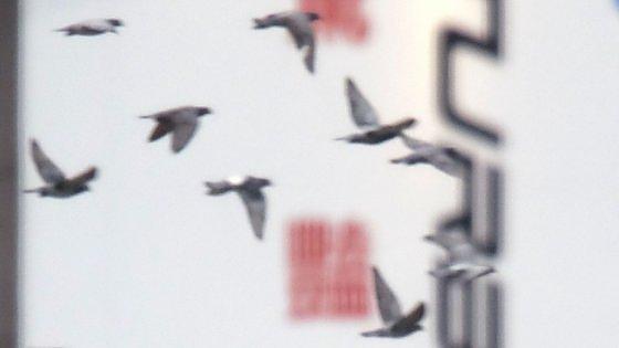 Gb, le colombe liberate per i matrimoni mettono a rischio l'eco-sistema